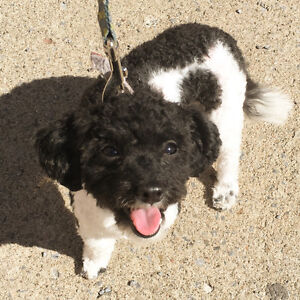 TEACUP/TOY MALE POODLE FOR SALE