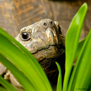 Wanted: A Hermann's Tortoise