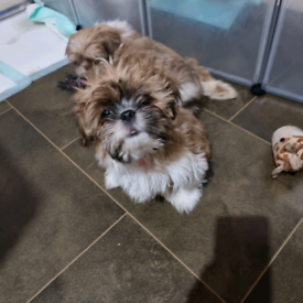 Beautiful and loveable little Shih Tzu puppy girl ready to go