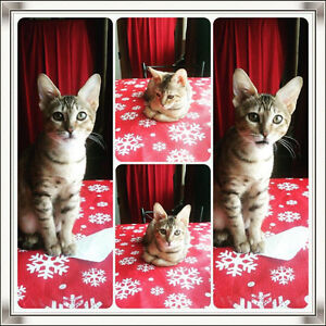Savannah Kittens for Sale - Bengal lovers stop here