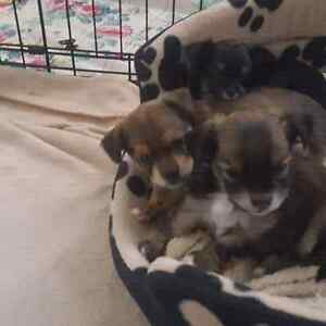 Chorkie puppies - 2 females available