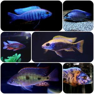 Cichlids, show males, 25+ species