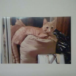 Lost Orange Tabby Cat