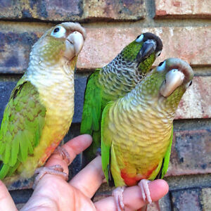 ★★❤Friendly Baby Conures Available❤★★