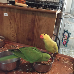Indian Ringneck babies weaned and ready to go