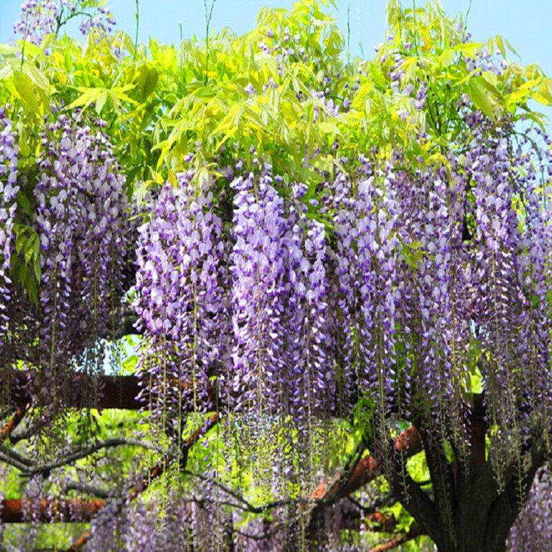 5 st ck blauregen wisteria floribunda samen lila wisteria samen garten pflanzen eur 1 00. Black Bedroom Furniture Sets. Home Design Ideas