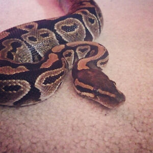 Ball Python & All Accessories!