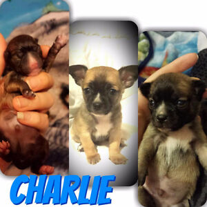 ****  TEACUP CHIHUAHUA BABIES ****  UPDATED    **********