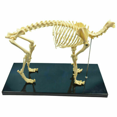 New Pvc Anatomy Dog Bone Skull Canine Skeleton Teaching Education Display Model
