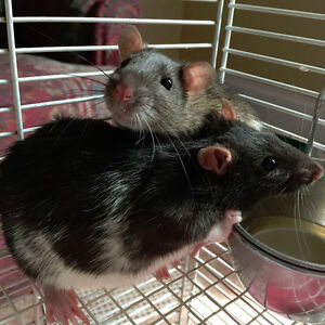 3 Rats for sale