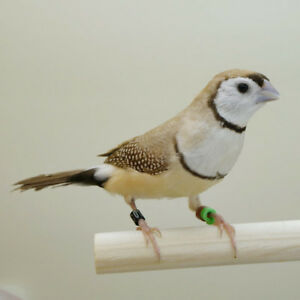 Breeder Owl finches