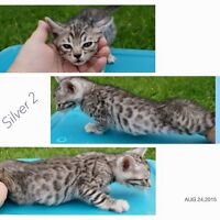 Male silver bengal