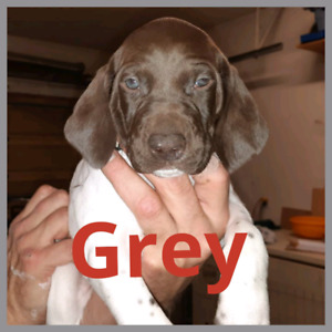 Purebred German Shorthaired Pointer Puppies
