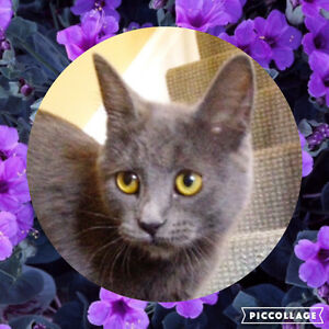 Meet VIOLET...Russian Blue Mix Kitten...Adorable,Adoptable London Ontario image 1