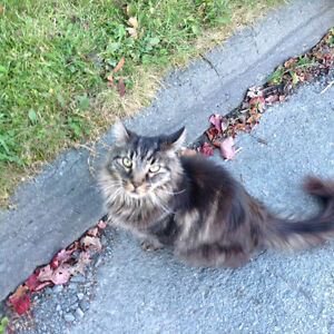 Long haired tabby cat found near montebello area