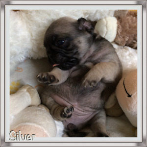 Pug puppies only one female