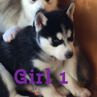 Siberian Husky puppies ready for their new homes soon!