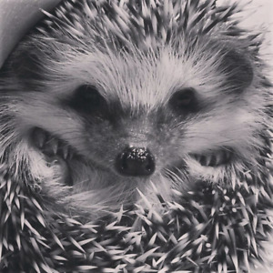 3yr old Male Hedgehog For Sale