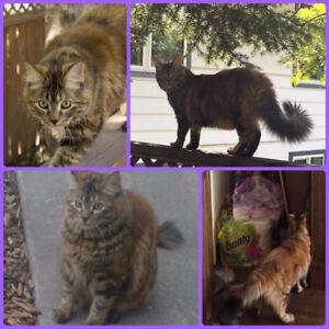 LOST CAT - REWARD - Orange/Brown Torbie