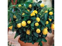 Dwarf Meyer Lemon Tree - Patio or House Fast Growing Heirloom Seeds