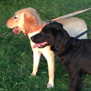 Labradors croisés mâle blond et femelle noire.