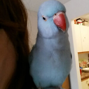 Indian ringneck Turquoise Blue