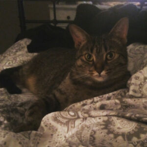 Lovely female tabby in need of great home!We are trying to rehom