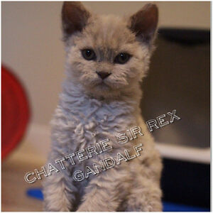 Chatons Selkirk Rex dit chat mouton