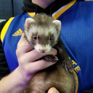 Ferrets available at The Extreme Aquarium