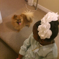 RED HAIRED POMERANIAN FOR SALE TOY BREED