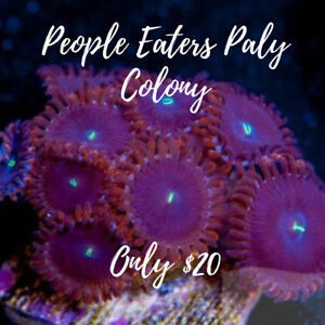 People Eaters Paly Coral Colony