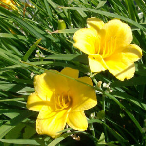 Daylilies for sale