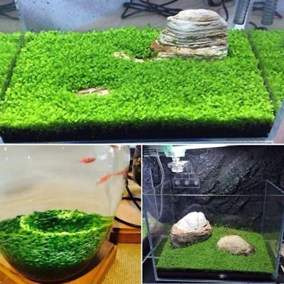 Plant Seeds Fish Tank Aquarium Aquatic Water Grass Decor Garden Foreground Plant ()