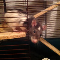 Two young female rats free to good forever home