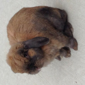 Purebred Minilop-house rabbit