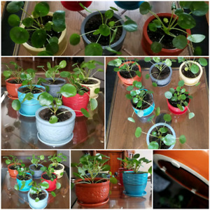 Pilea PEPEROMIOIDES plants with ceramic pots