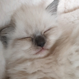 Kittens Pure Ragdolls