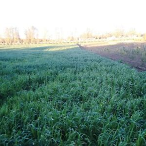 High Quality Winter Forage (oats, peas, radish) for feed