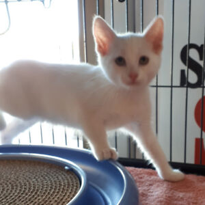 Lunny - rescued white male kitten for adoption