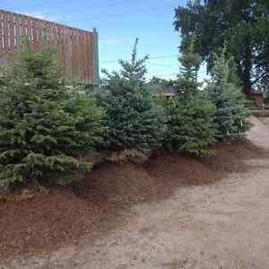 Colorado Spruce trees