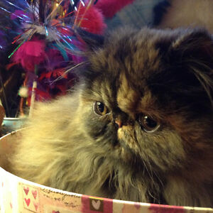 Persian & Championship Bloodline Campbell River Comox Valley Area image 1