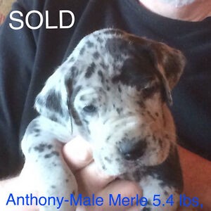 CKC Registered 50%Euro Great Dane Puppies