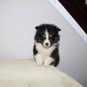 Canadian kennel club Registered Sheltie Puppies