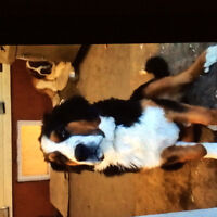 Lost or stolen Sain Bernard and Bernese mountain dogs