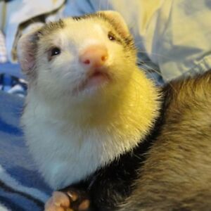 Experienced  - Looking to adopt 2 healthy ferrets.