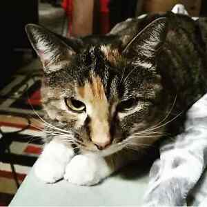 3 year old calico tabby needs home