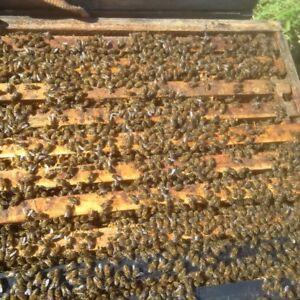 honeybee colonies for sale