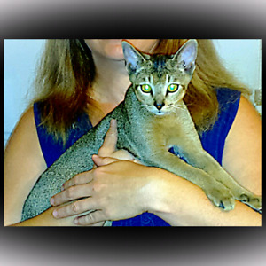 Abyssinian kitten sold----others will come