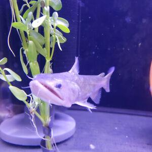 Rare gulper catfish at The Extreme Aquarium here in Sarnia