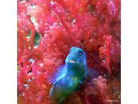 Botryocladia Macro Algae for Marine Tanks, Seahorse Aquarium & Reef Tank. Beautiful as Coral Frags